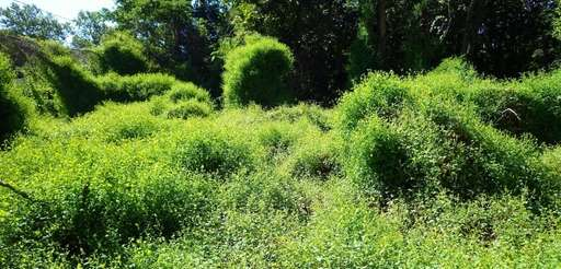Mile-a-minute weed overruns a site after superstorm Sandy.