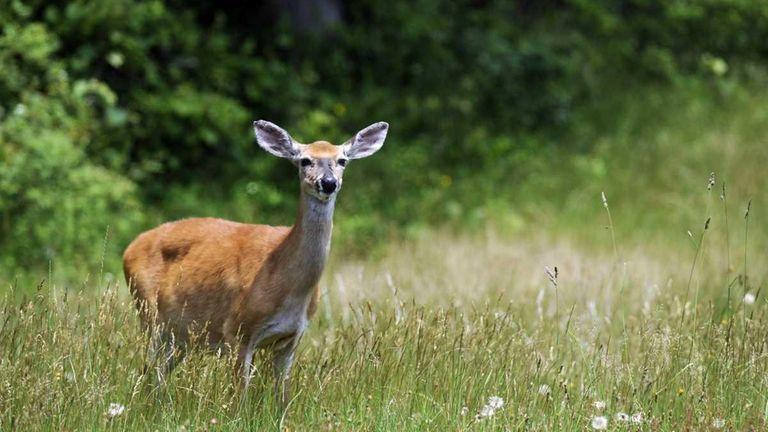 A deer in Heckscher State Park in East