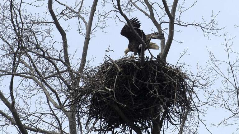 A bald eagle at its nest in Centerport