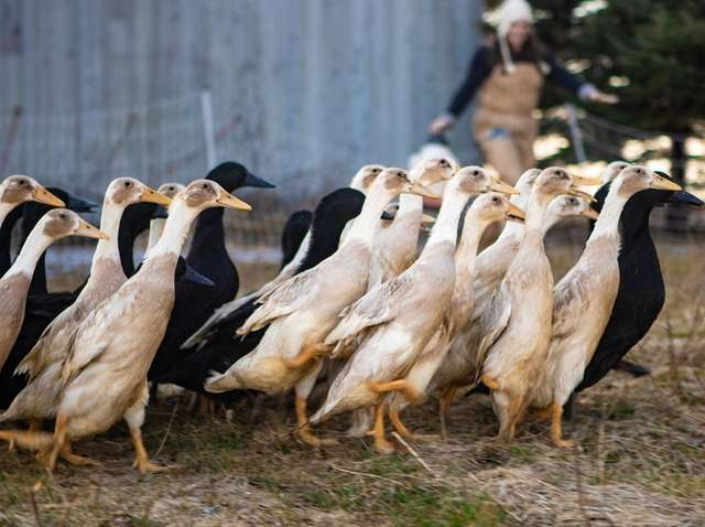 Indian Runner ducks run about the grass at