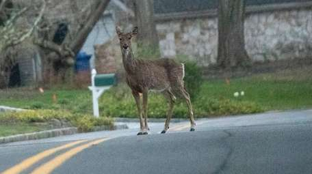 Deer stopped in the middle of the road