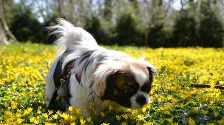 Chatham, a cavalier-Pekingese mix, sniffs flowers at Old
