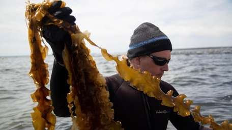Scientist Michael Doall cultivates sugar kelp and oysters
