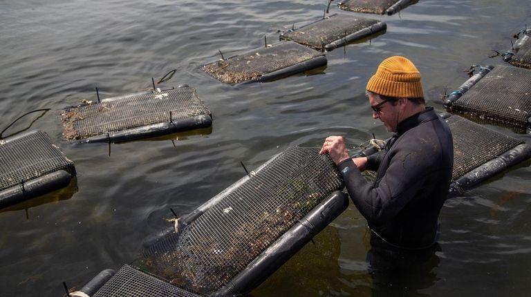 Marine farmer Paul McCormick cultivates sugar kelp and