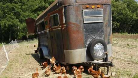 Dozens of hens wander the grounds at the