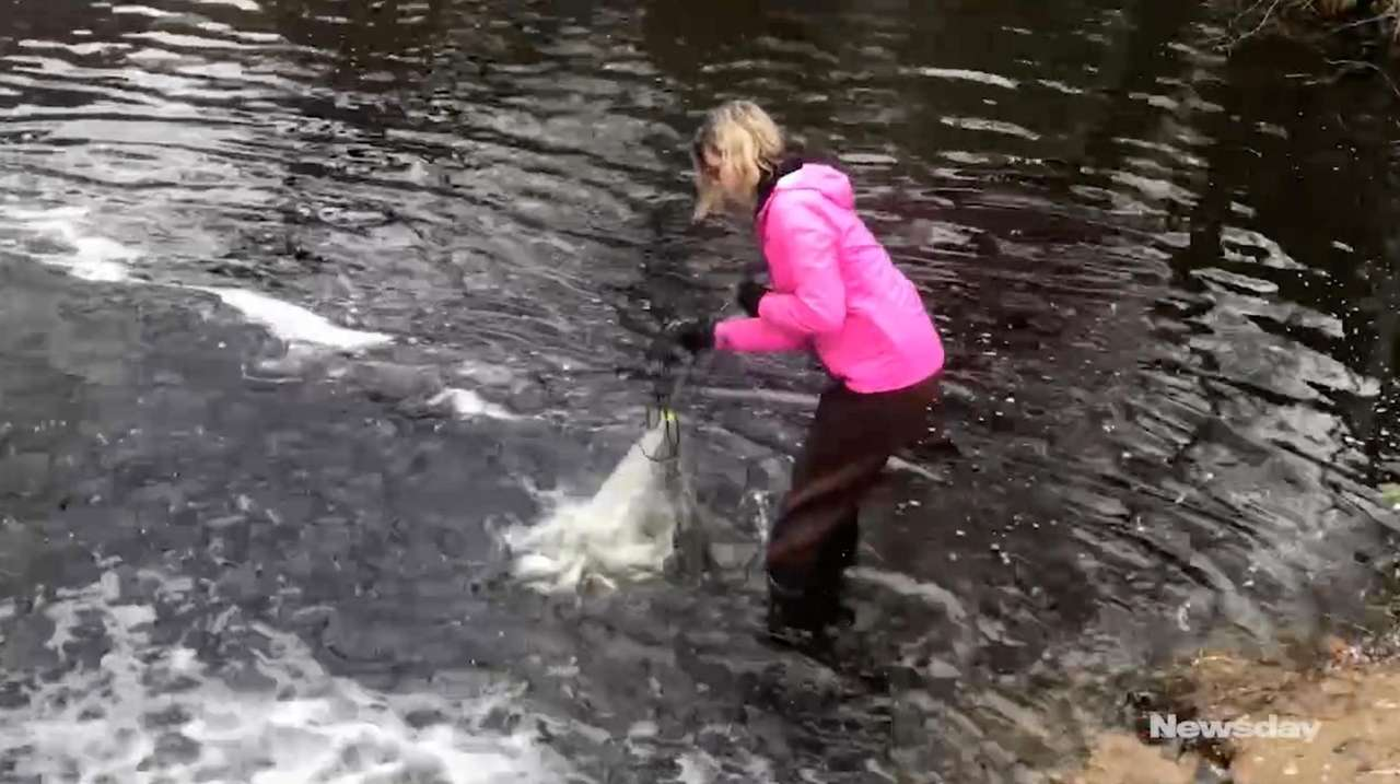 Conservationists helping alewives over Woodhull Dam in Riverhead