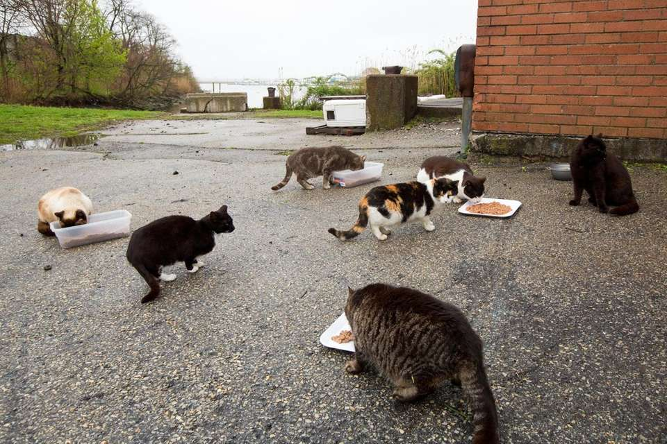 Feral cats are fed by Town of Hempstead