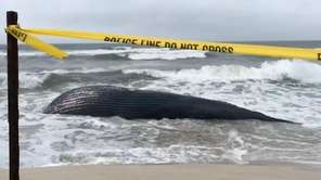 A humpback whale washed ashore and was found
