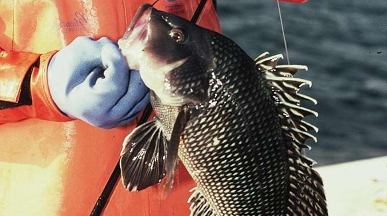 Black sea bass frequent local waters through November.