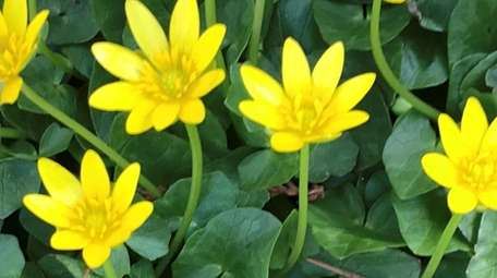 Ficaria verna, otherwise known as lesser celandine or