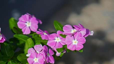 Catharanthus roseus, also known as the Madagascar periwinkle.