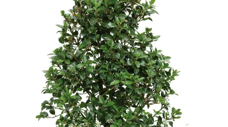 'Castle Spire' holly pairs well with annual euphorbia