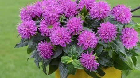 Monarda 'Pardon My Purple' bee balm blooms in