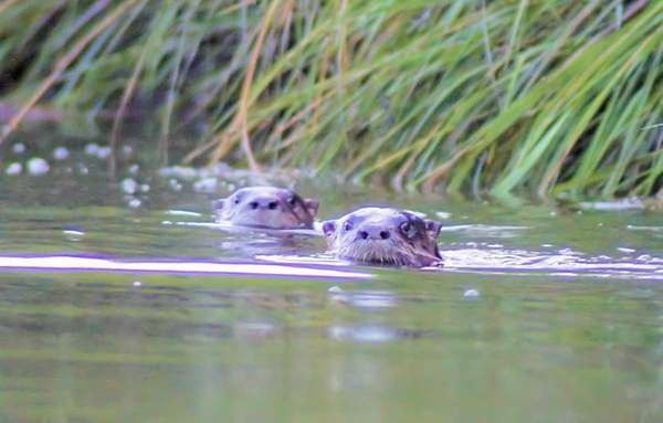 Otters swim the Nissequogue River in Smithtown, about
