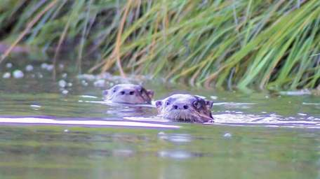 Otters swim the Nissequogue River Otters swim the
