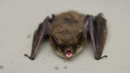 A Northern long-eared bat found in March at