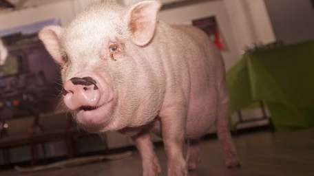 Bosley, an 8-year-old miniature potbelly pig, was the