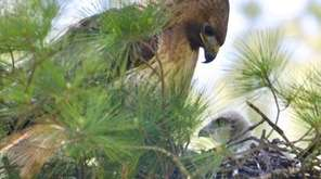 A red-tailed hawk with a chick that hatched