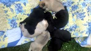 Luna's puppies, in pinwheel formation, at a West