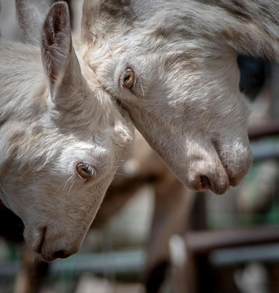 Goats at Catapano Farms make it possible to