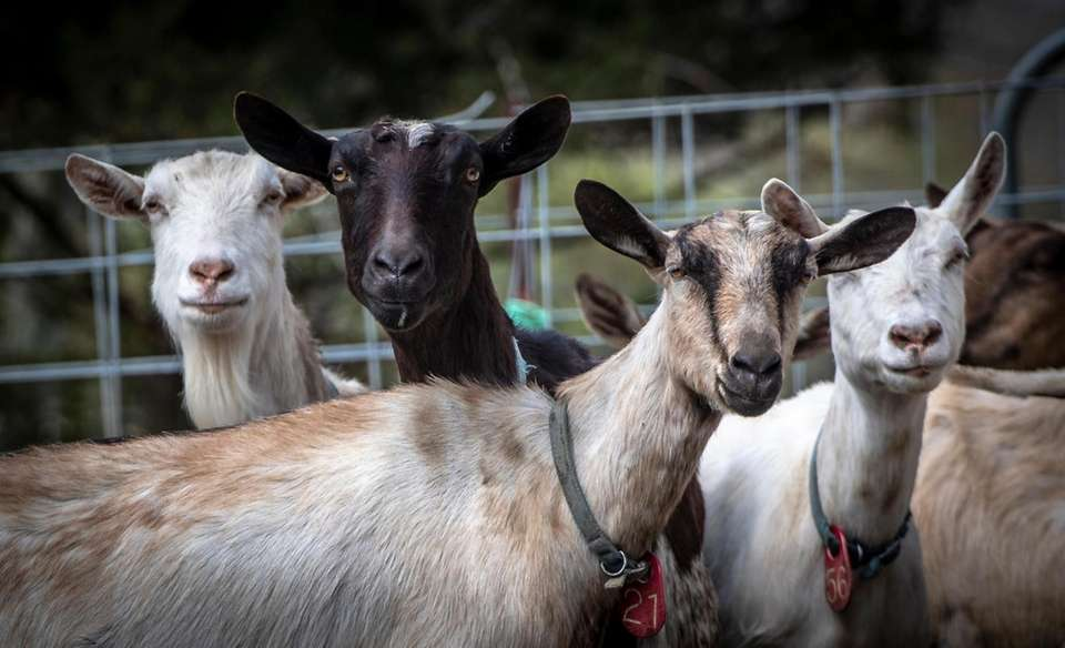 Goats at Catapano Farms in Peconic make it