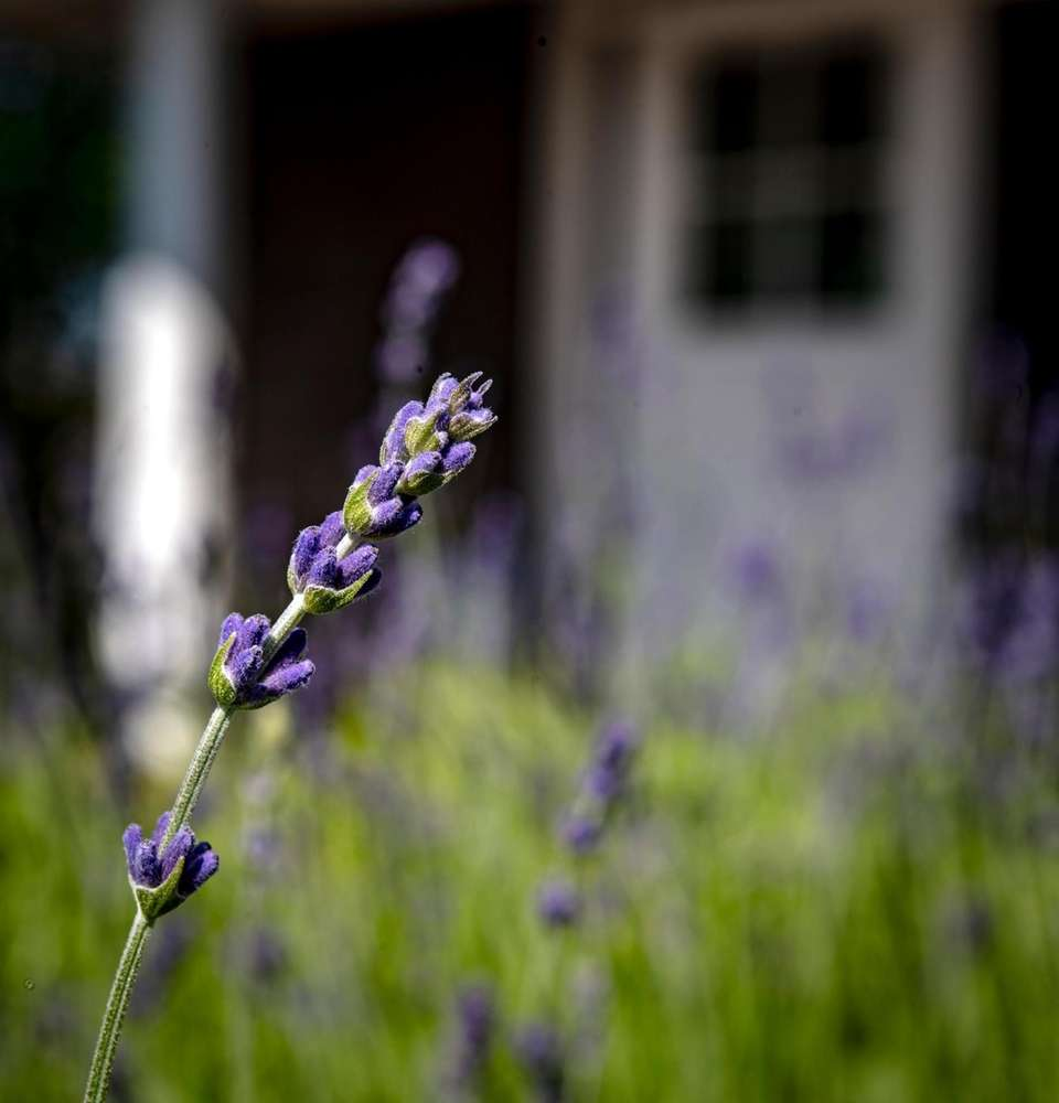 English lavender plants at Lavender By the Bay