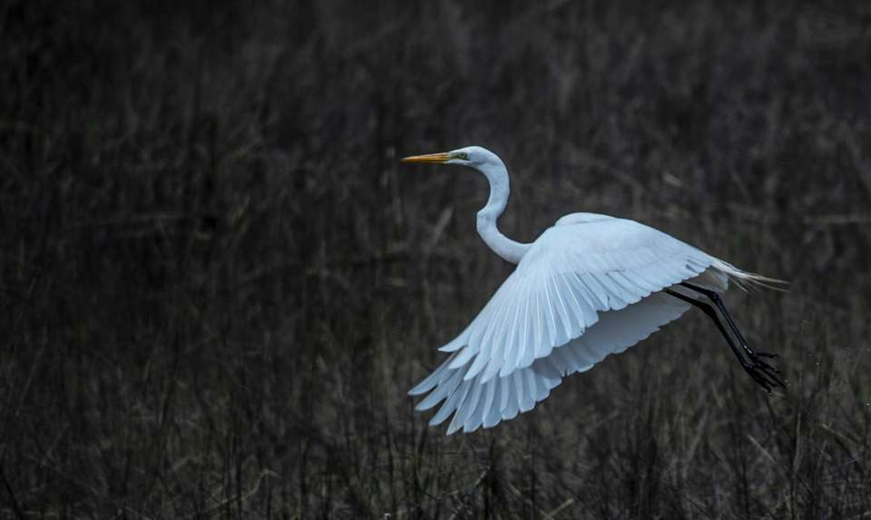 A Great Egret flying above the wetlands at