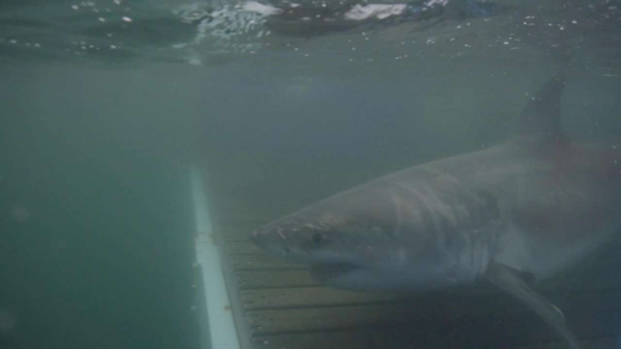 Cabot the great white shark has headed out