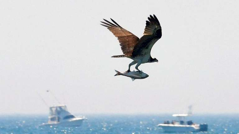 An osprey grabs a fish from surf at