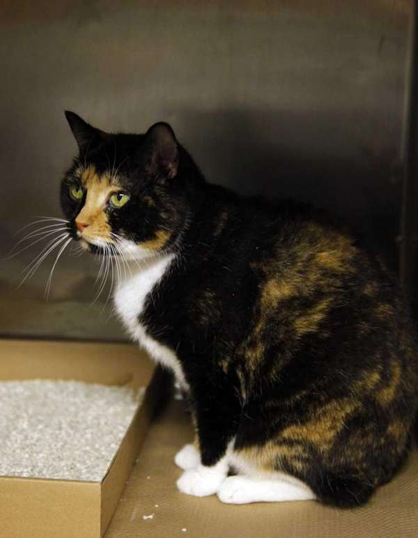 Willow, a 6-year calico cat that went missing