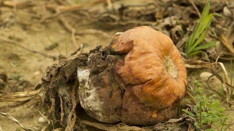 A pumpkin affected by disease. (Sept. 18, 2011)