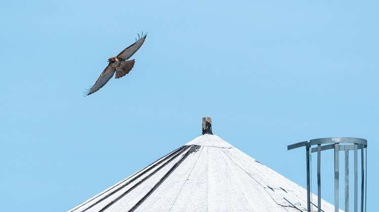An adult red-tailed hawk uses a water tower