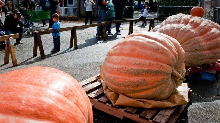 Visitors to Hicks Nurseries in Westbury could see