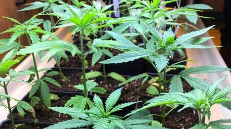 Cannabis seedlings grow as part of a research