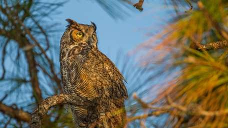 The nocturnal great horned owl at Connetquot River