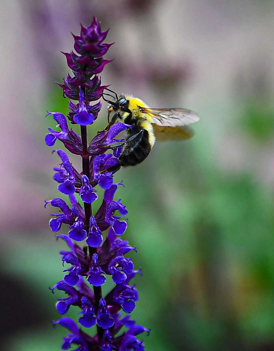 A bumble bee pollinates a lavender flower in