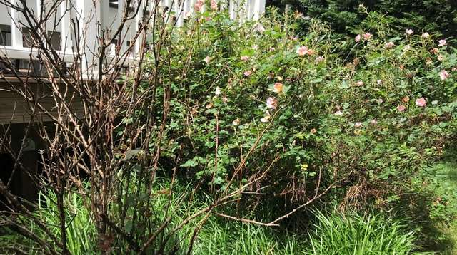 Jessica Damiano lost this Knockout rose and several