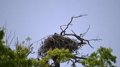 One of the two eaglets at Connetquot River