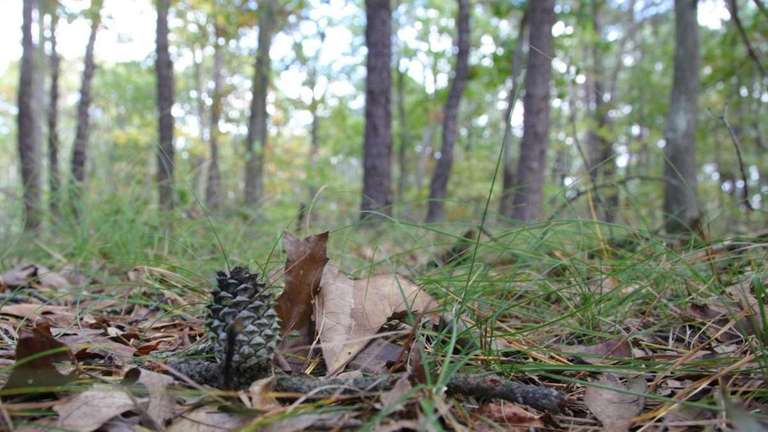 A pine cone sits on the ground of