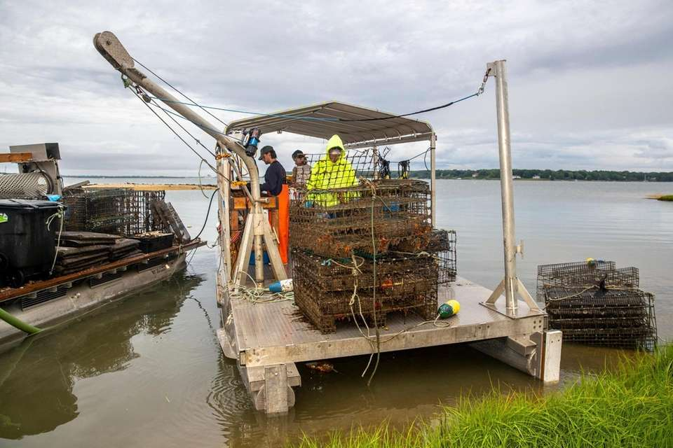 The Greenport Oyster Company in Greenport harvests by