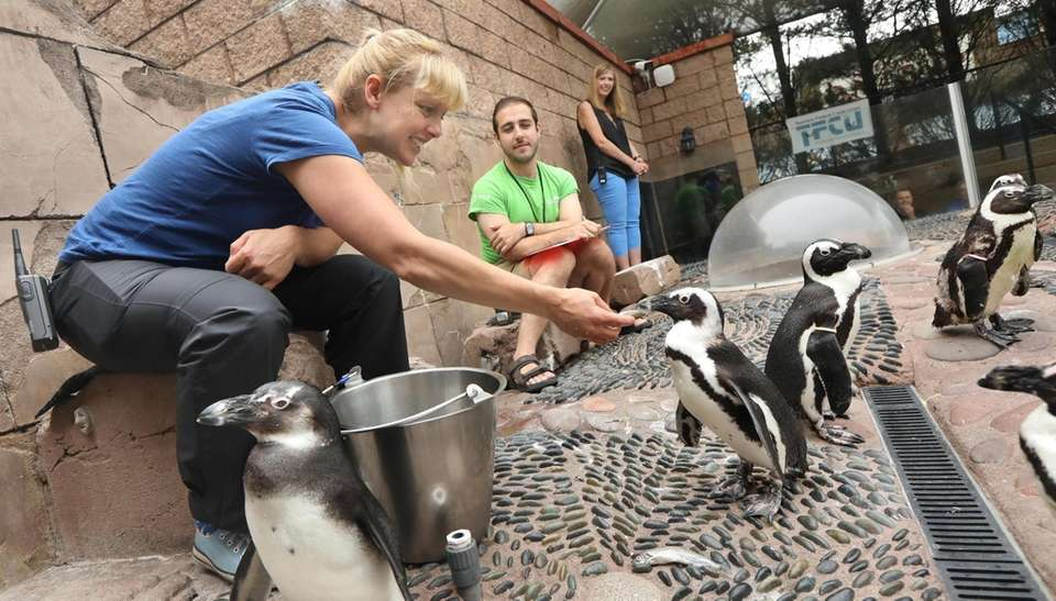 The South African penguins at the at the