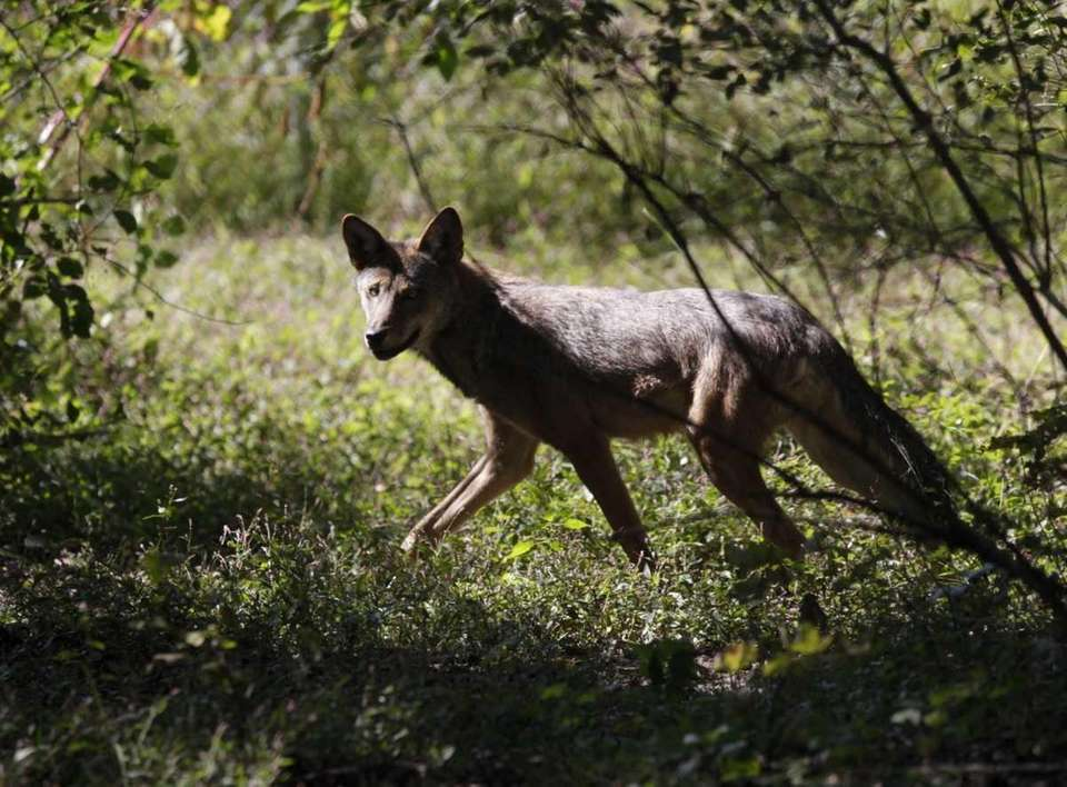A red wolf runs at the Wolf Conservation