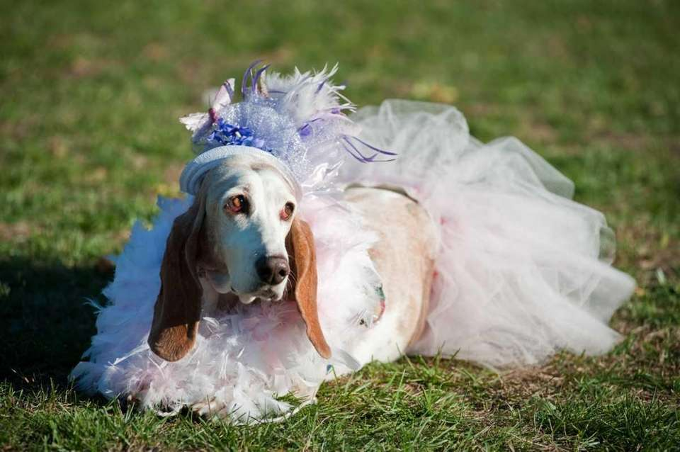 Pretty as a picture, Shelby, a basset hound