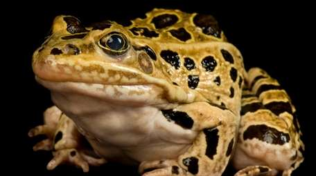 A Southern leopard frog is one of the