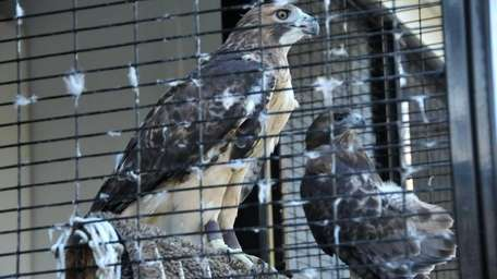 Two Red-tailed Hawks are permanent residents at the