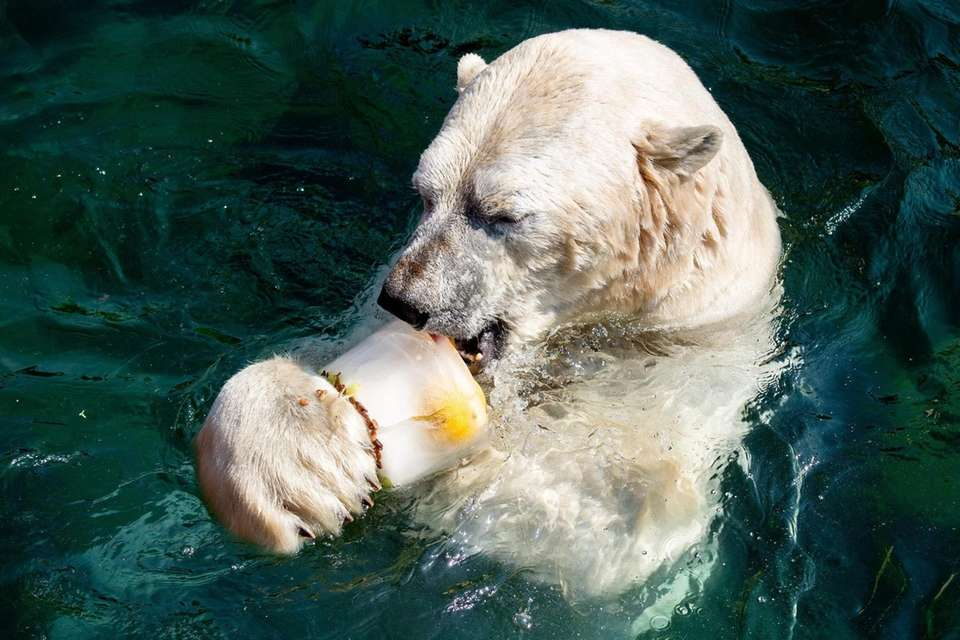 "Polar bear ""Sprinter"" licks an ice cake with"