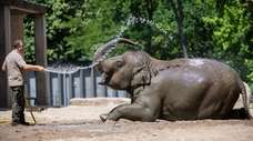 A zookeeper sprays water on Asian elephants at