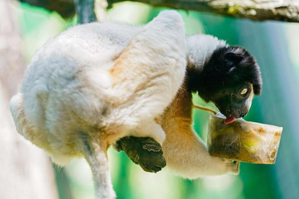 A crowned sifaka licks an ice cake in