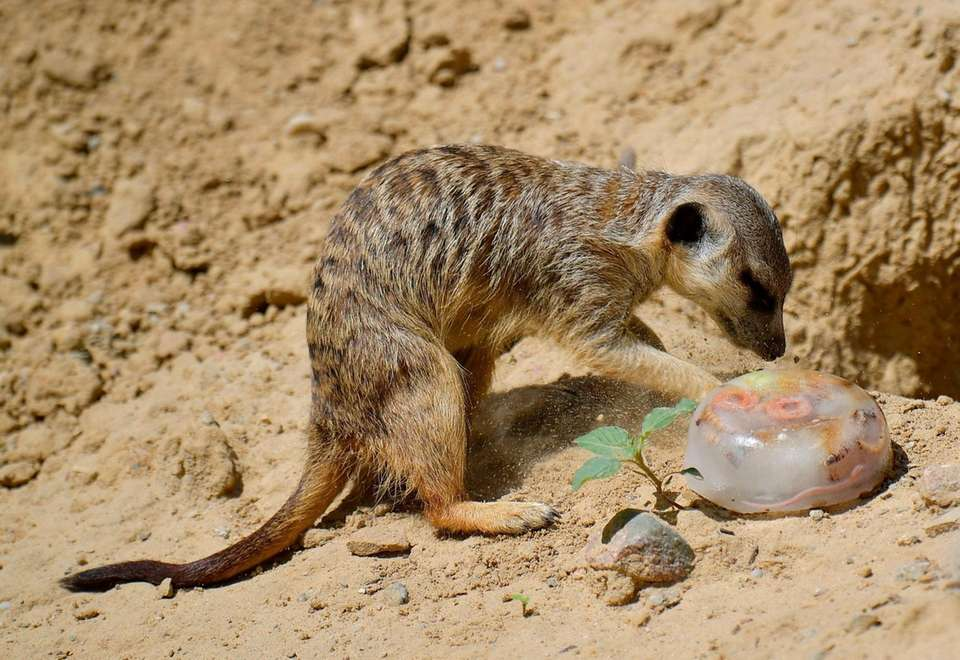 A meercat reaches for frozen food on a