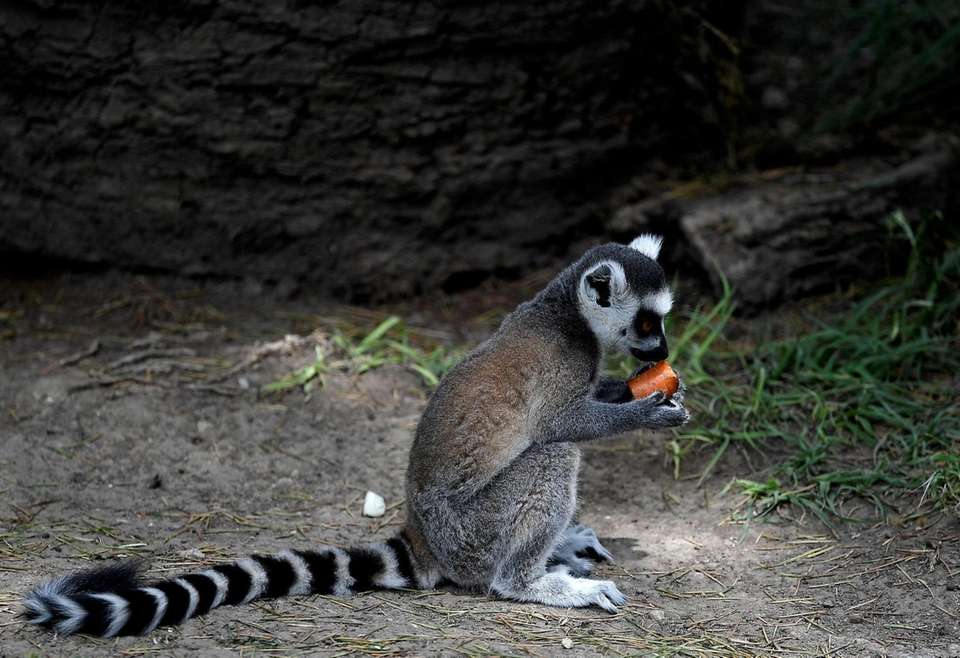 A lemur refreshes himself with iced fruit at
